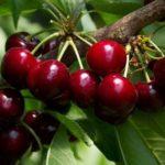 CILIEGIO : Novità su Difesa e Nutrizione